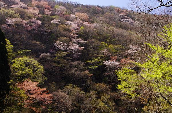 猪ノ瀬戸の山桜