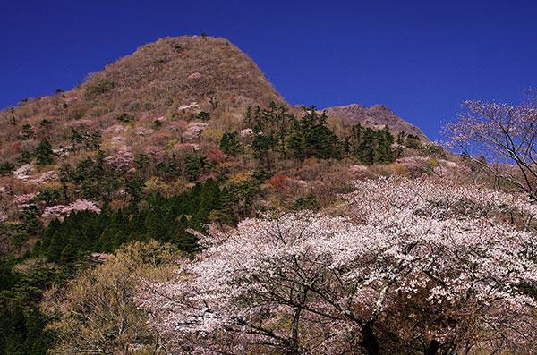 日向岳と桜