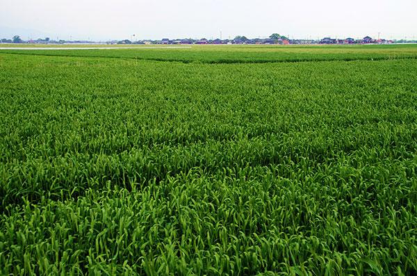 筑紫平野の麦畠