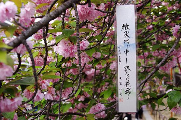 造幣局の桜の通り抜け(3)