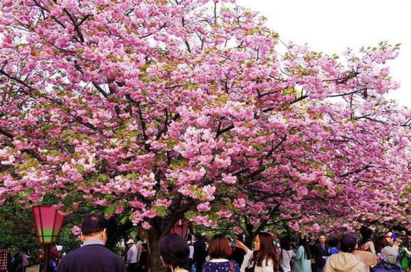 造幣局の桜の通り抜け(1)