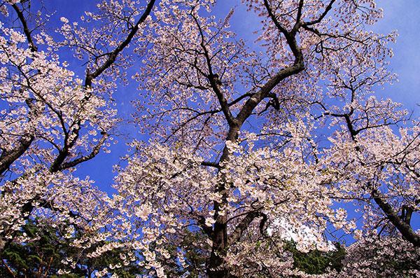 碁石海岸の桜