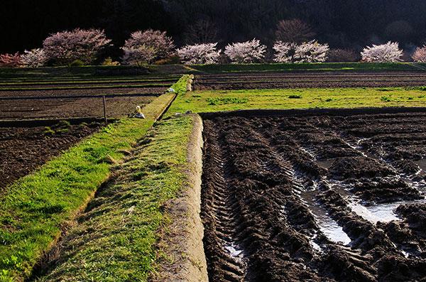 陸前高田市横田町の桜
