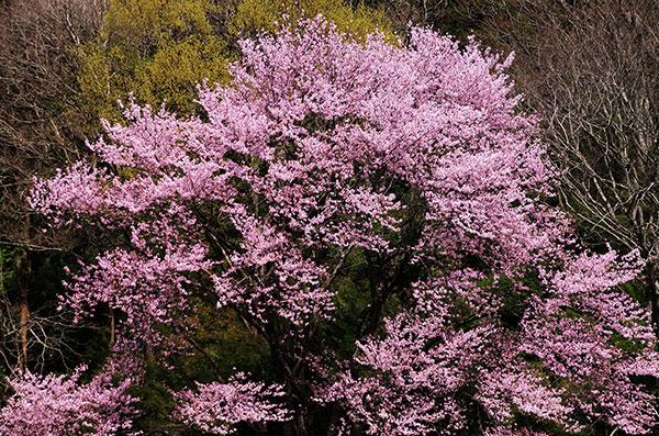 住田町の桜