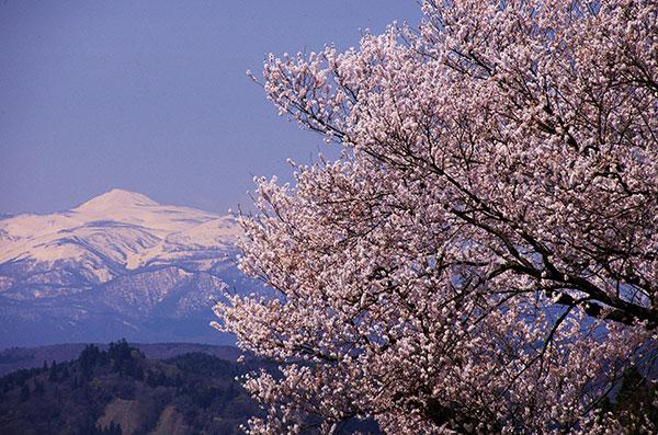 須川岳と桜
