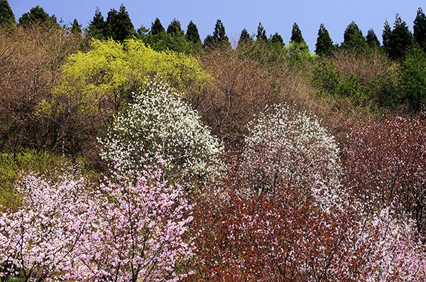 西行桜の森公園の桜