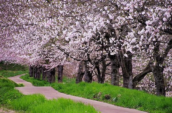 猿ケ石川の桜並木