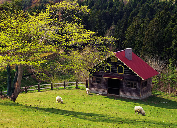 館ケ森牧場の羊たち