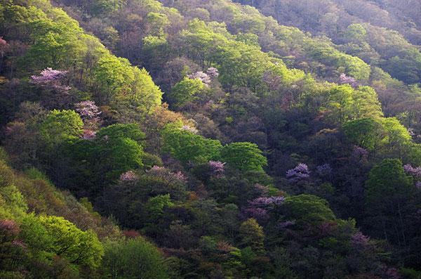 仙人峠の山桜