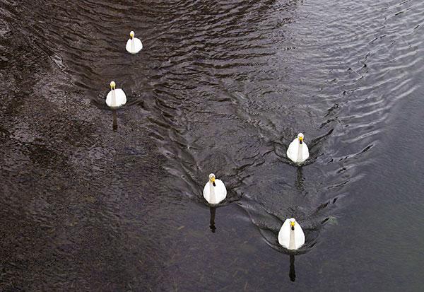 稗貫川の白鳥