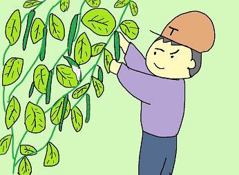 キューリの収穫