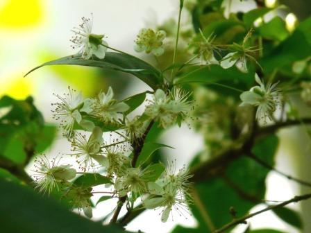 筑波実験植物園 タチバナアデク 1