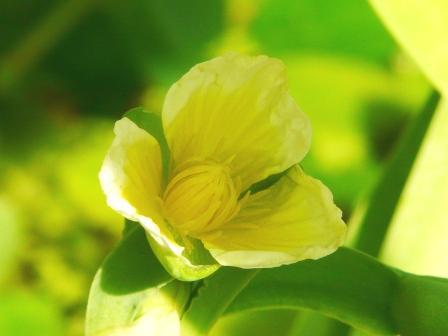 筑波実験植物園 キバナオモダカ 3