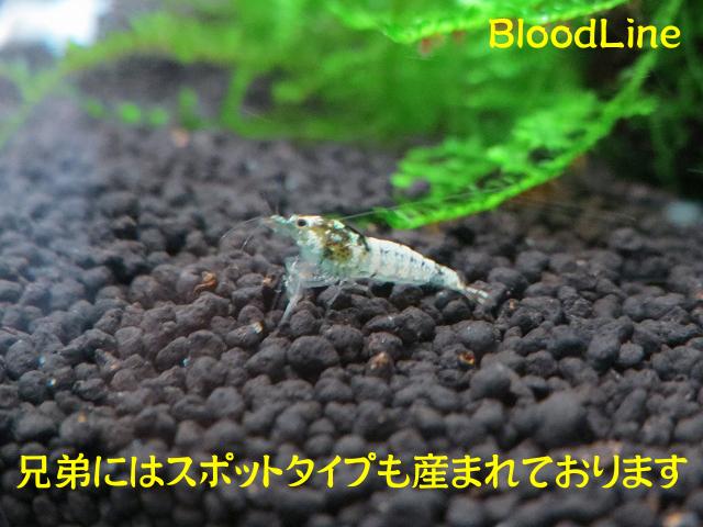 s-BloodLineピントF0♂4