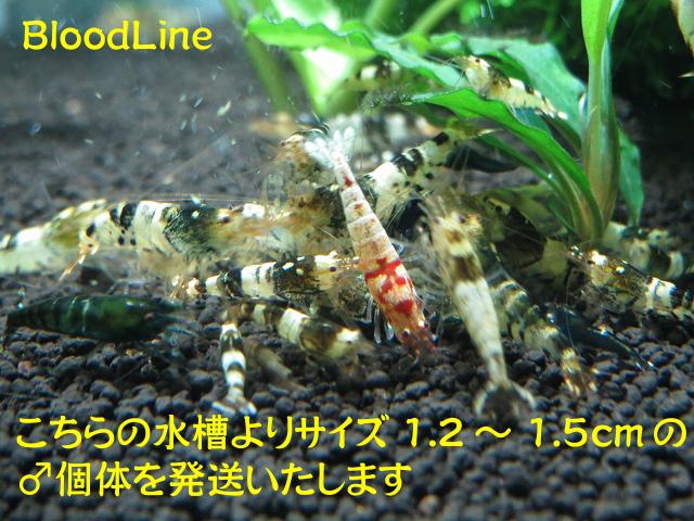 s-BloodLineピントF0♂1