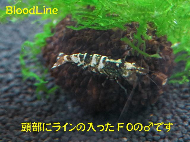 s-BloodLineピントF0♂3