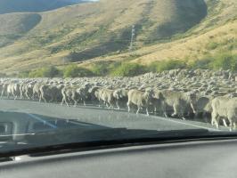 羊の群れに遭遇