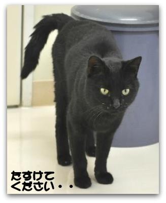緊急!!黒猫を助けてください!!