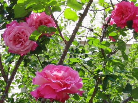 大輪のバラ・赤