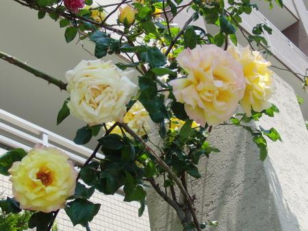 大輪のバラ・黄色