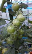 ミニトマト収穫03