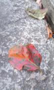 柿の葉っぱ2012