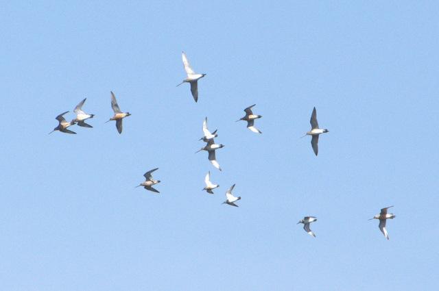 オオソリハシギ飛翔