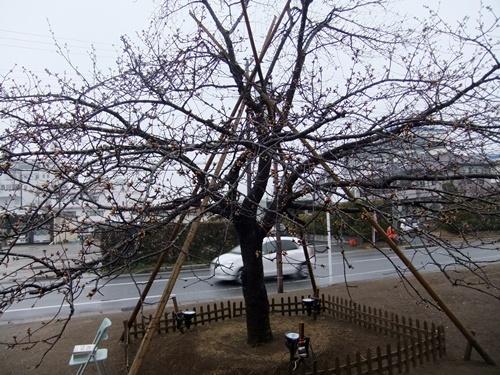 2013.2.27 しらこ桜視察研修(保存会) 001