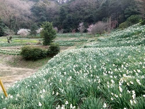 2013.3.10 水仙ロード(江月河津桜) 012