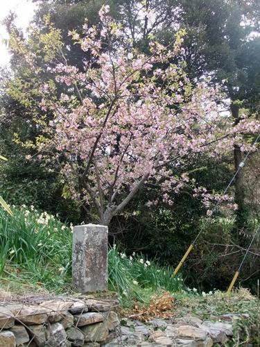 2013.3.10 水仙ロード(江月河津桜) 018