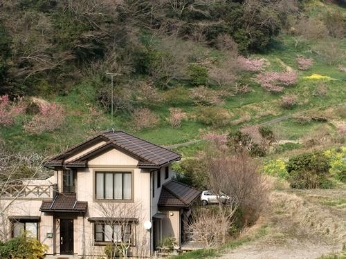 2013.3.10 水仙ロード(江月河津桜) 013