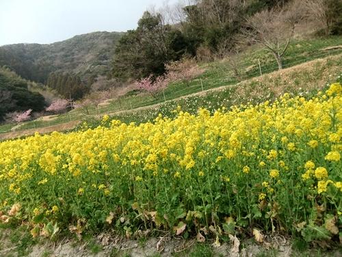 2013.3.10 水仙ロード(江月河津桜) 021