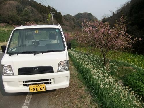 2013.3.10 水仙ロード(江月河津桜) 030