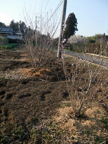 2013.3.11 桜桃の花(寺畑) 005