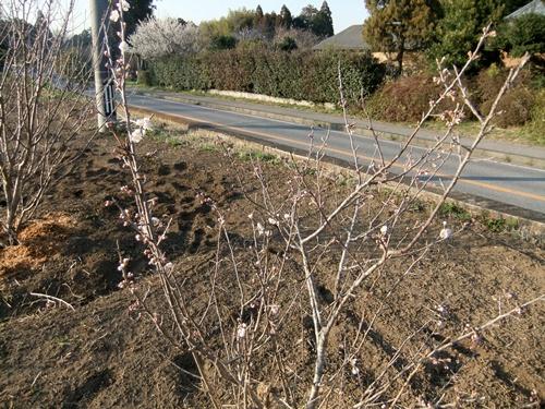 2013.3.11 桜桃の花(寺畑) 004