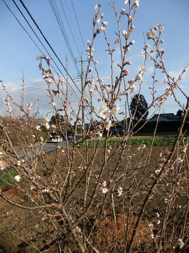 2013.3.11 桜桃の花(寺畑) 003