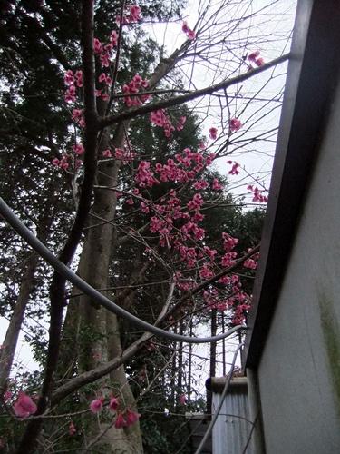2013.3.24 桜いろいろ 040 (1)