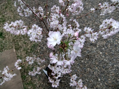 2013.3.24 桜いろいろ 031 (2)