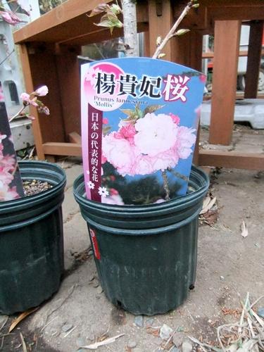 2013.3.24 桜いろいろ 031 (3)