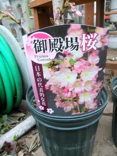 2013.3.24 桜いろいろ 031