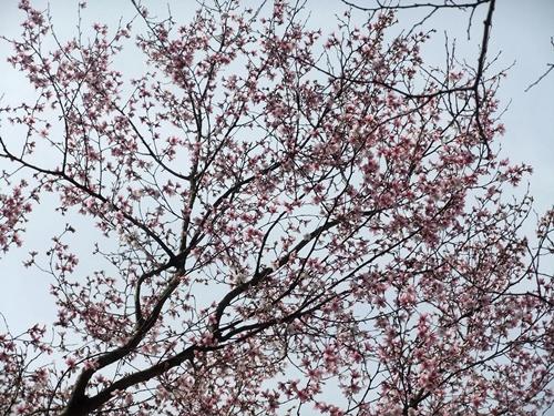 2013.3.20 山下の桜 023 (2)