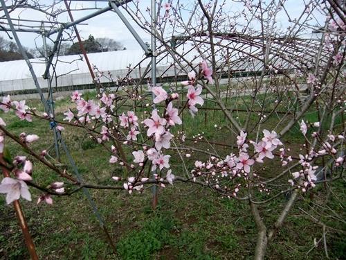 2013.3.26 春の果樹の花 013 (5)