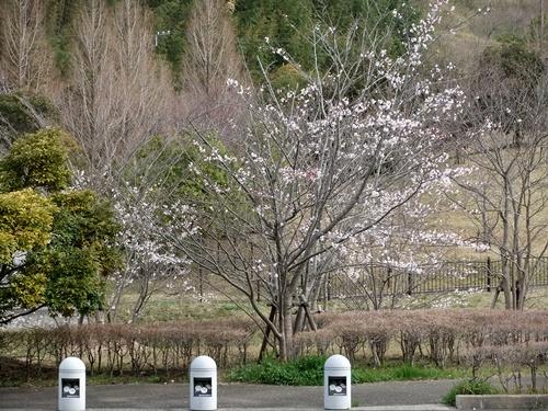 2013.3.26 春の果樹の花 013