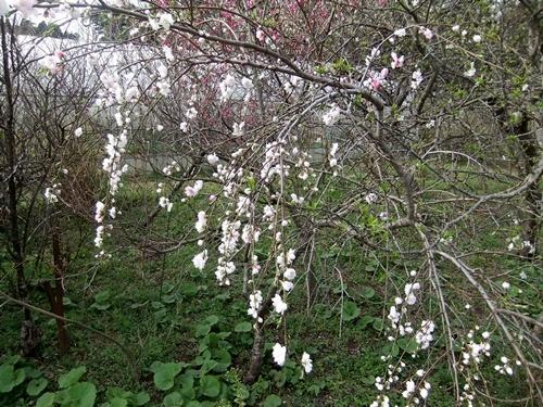 2013.3.26 春の果樹の花 013 (8)