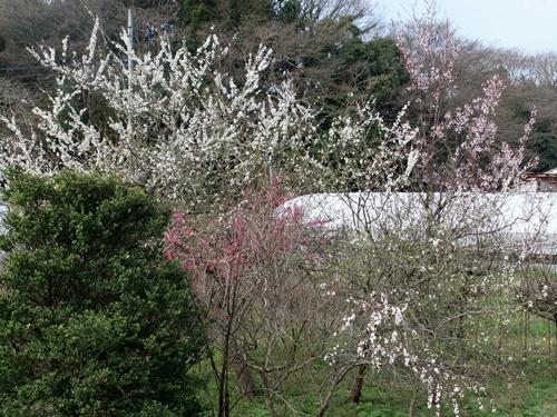 2013.3.26 春の果樹の花 013 (10)
