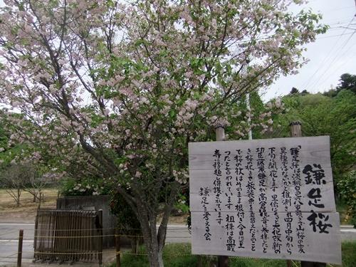 2013.4.8 鎌足の入学式(伊藤農園) 108