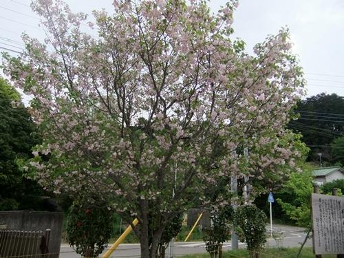 2013.4.8 鎌足の入学式(伊藤農園) 107