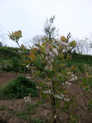 2013.4.8 ブルーベリー(寺畑) 097