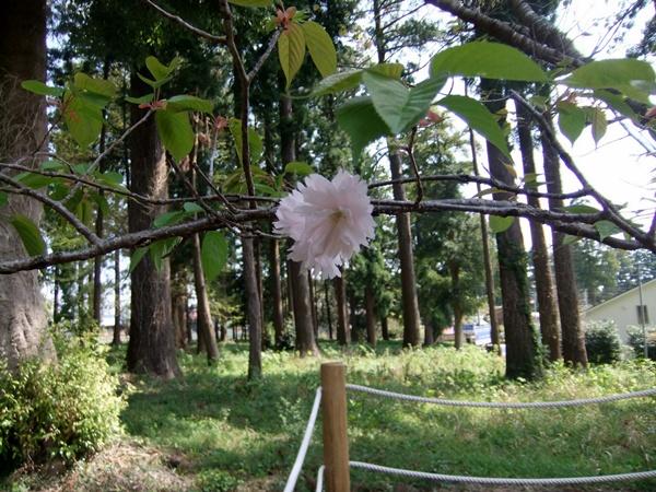 2013.4.8 鎌足桜(祖株・草敷) 065 (7)
