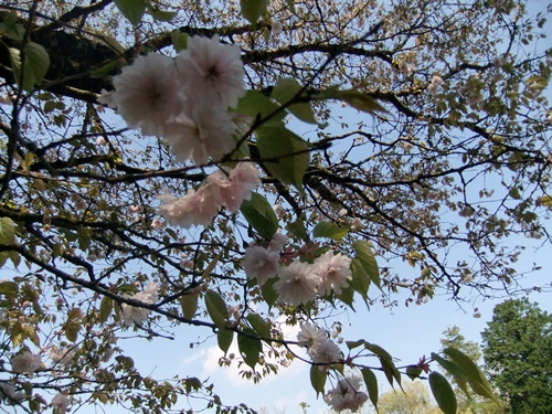 2013.4.8 鎌足桜(祖株・草敷) 065 (4)